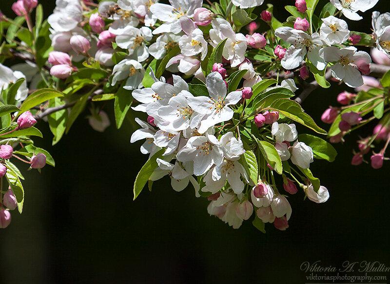 Цвет дикой яблони-Viktoria Mullin