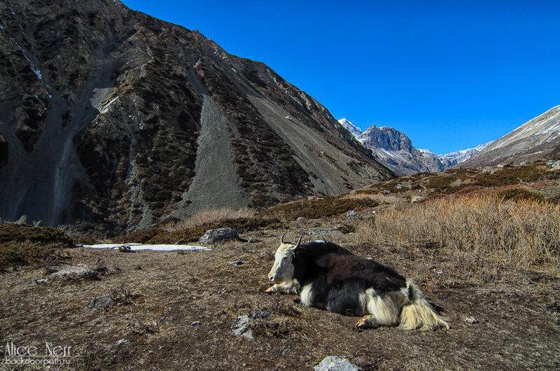 Похоже, это самый главный як, гималаи, тибет, непал