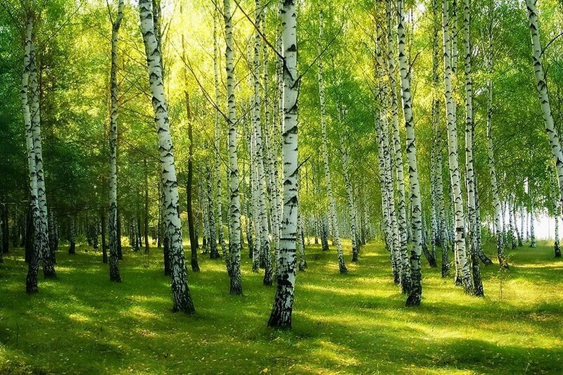 Сажинский лес.jpg