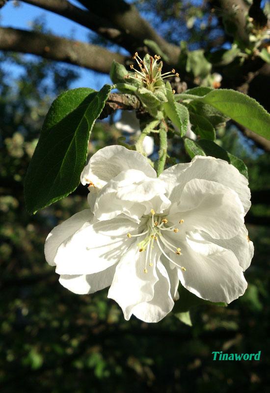 цветок яблони.jpg