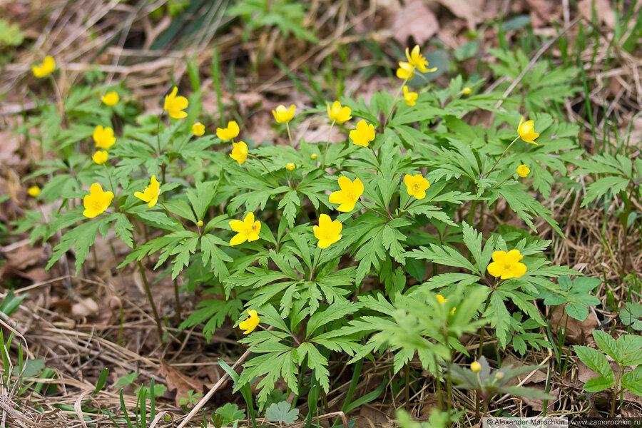 Ранние жёлтые цветы