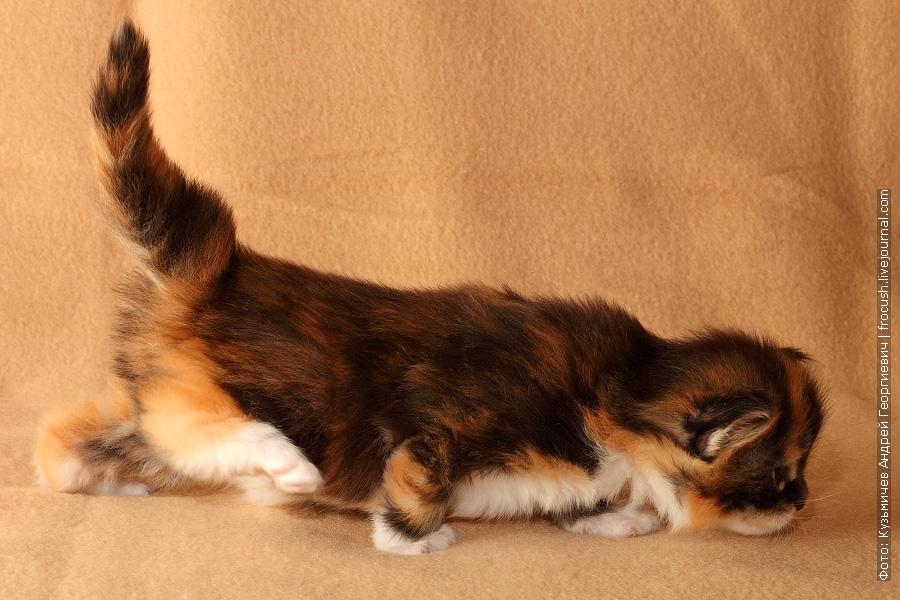 трехнедельный котенок мейн кун