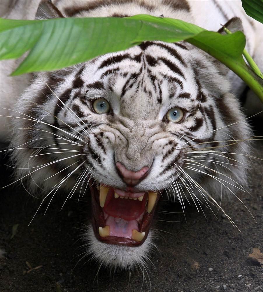 Тигр в профиль