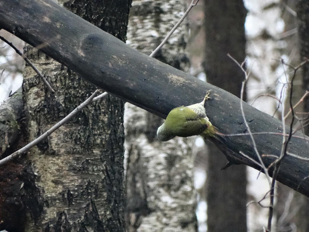 Седой дятел (Picus canus). Автор фото: Привалова Марина