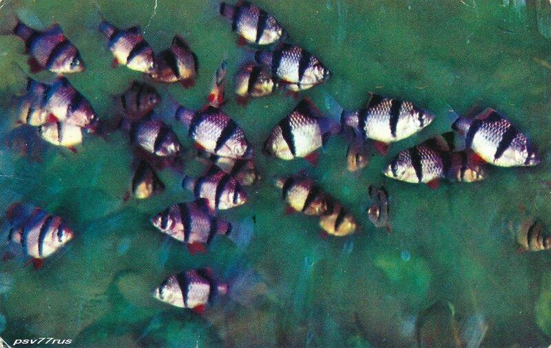 Барбус суматранский.   Родина-остров Суматра.
