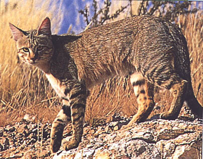 Ливийская буланая кошка