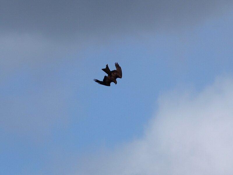 Чёрный коршун (Milvus migrans) P5021631.jpg