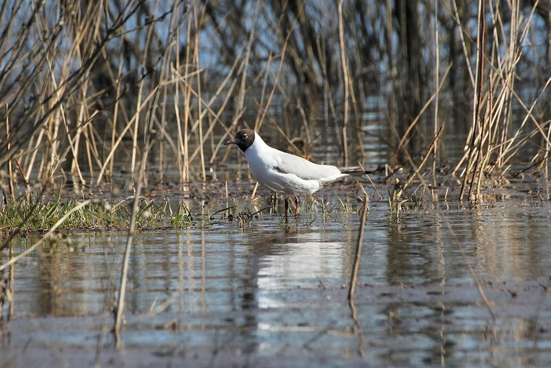 Чайка озёрная (Larus ridibundus) на мелководье
