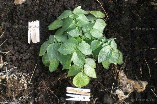 Ранний картофель из ростков