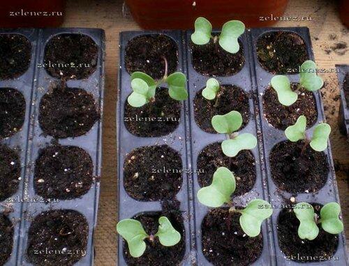 Рассада капусты, так начинается путь к урожаю.