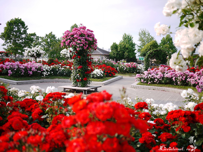 нас картинки в парке чаир распускаются розы мама постоянно