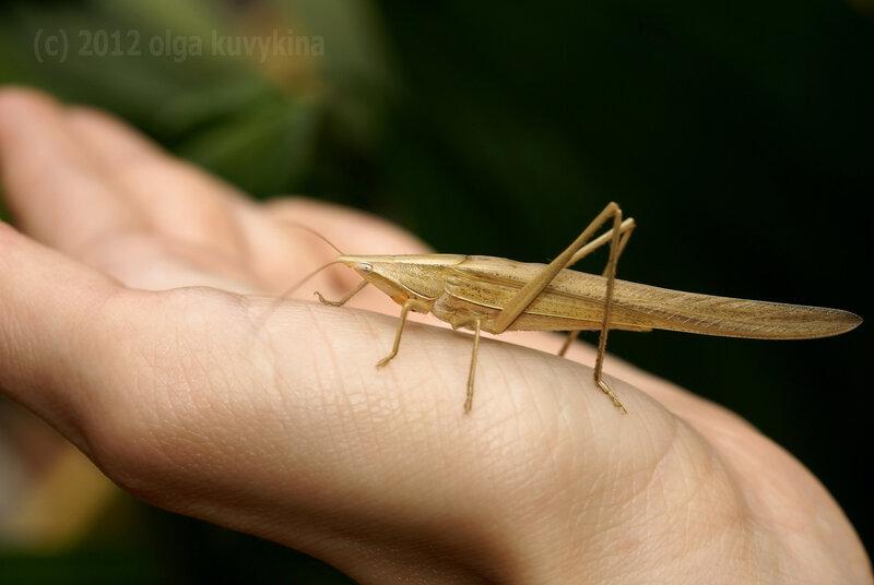 Пластинокрыл (Phaneropterinae)