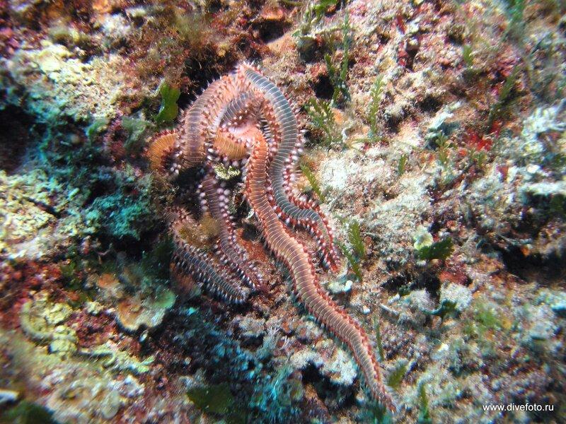 Кольчатые черви средиземное море фото