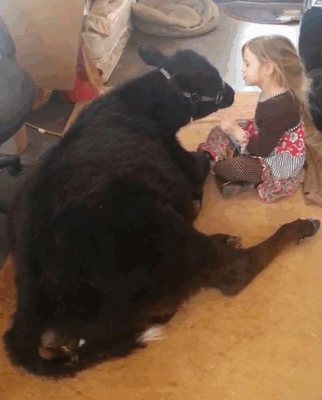 Девочка подумала, что теленку холодно под дождем, ипривела его домой. Родители несмогли возразить.
