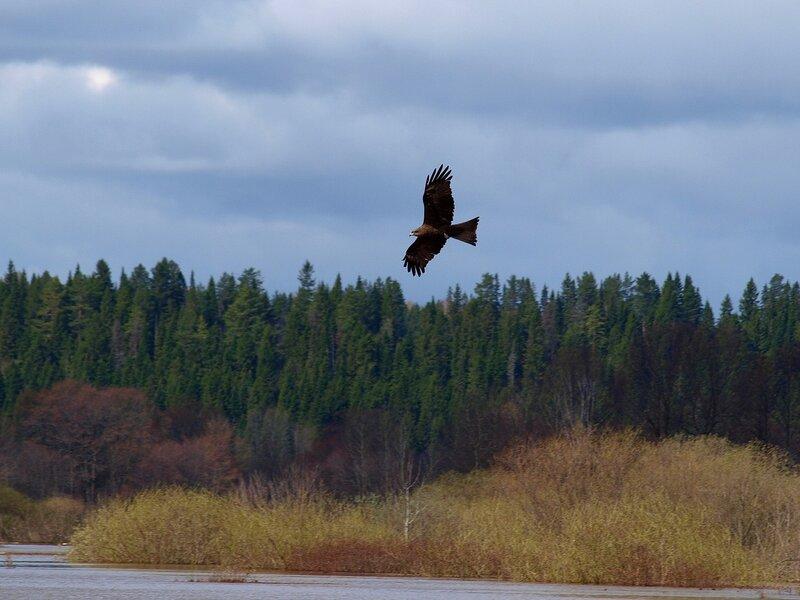 Чёрный коршун (Milvus migrans) P5021648.jpg