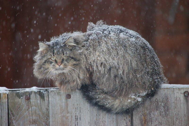 кот на заборе