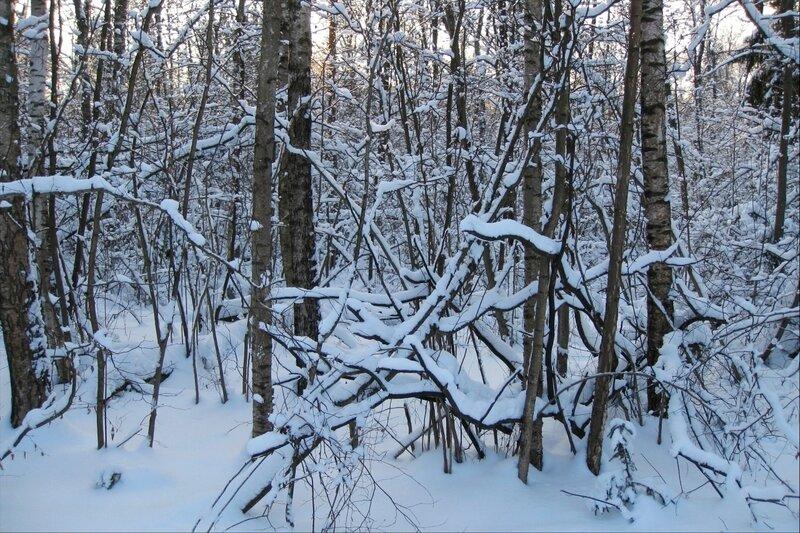 Январский подмосковный лес
