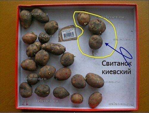 """Свитанок киевский по версии агрофирмы """"Сады России""""."""