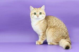 9 place - 83 Bonny Plush Golden Kitty (Female) BRI ny 11 Пестерева Р.Ф.