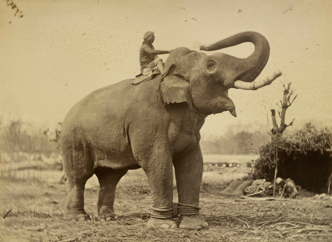 107. Джанг Першад, самый большой боевой слон махараджи сэра Юнга Бахадура Рана (1816-77)