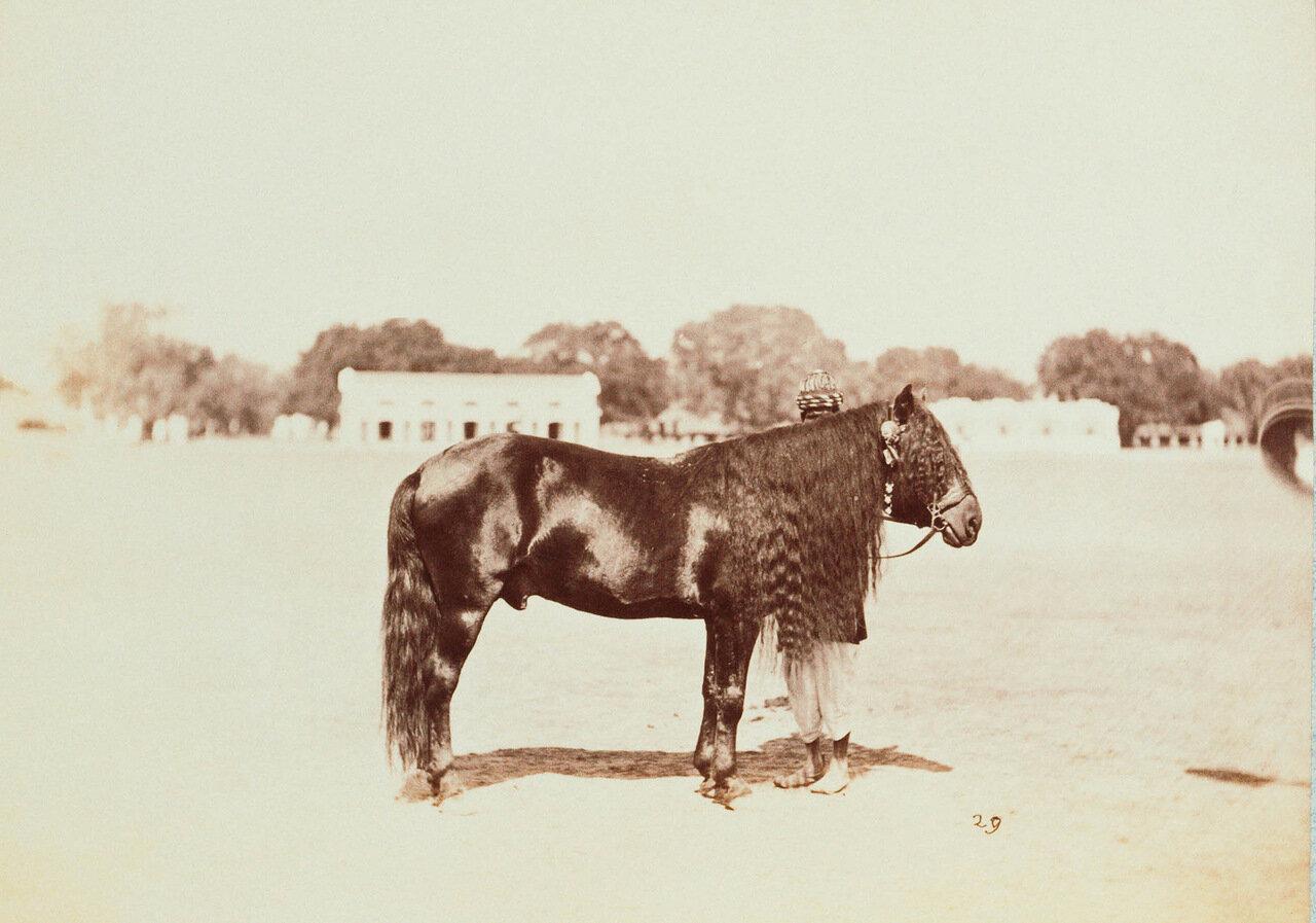 Яркендский пони