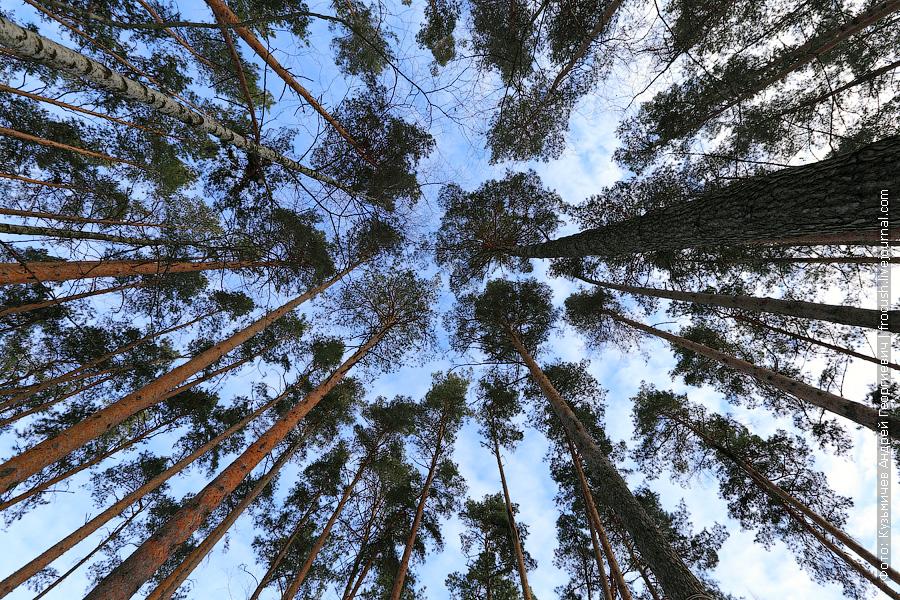 сосновый лес у пансионата «Волга»