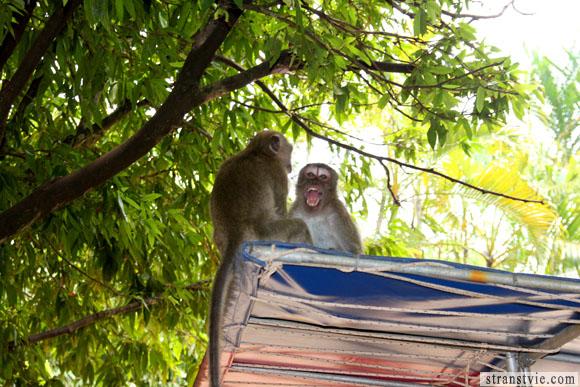обезьяны дерутся в храме обезьян в краби