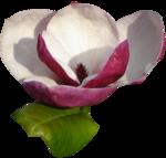 magnolia 15.png