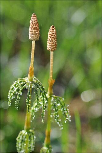 Хвощ лесной (Equisetum sylvaticum) Автор фото: Владимир Брюхов