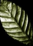 Lilas_btd_leaf.png