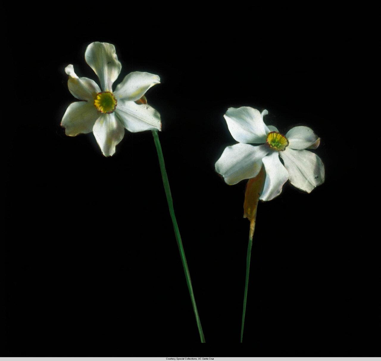 Цветы Германии. Нарцисс