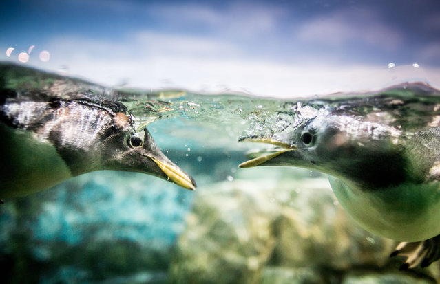 A picture made available on 23 February 2016 shows two penguins swimming in a pool at the zoo in Fra