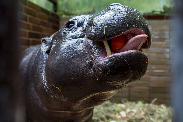 Female of pygmy hippopotamus called Malaya from Netherlands in zoo in Dvur Kralove nad Labem, Czech