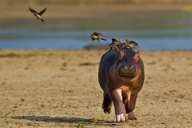 Hippo is Scared of Birds