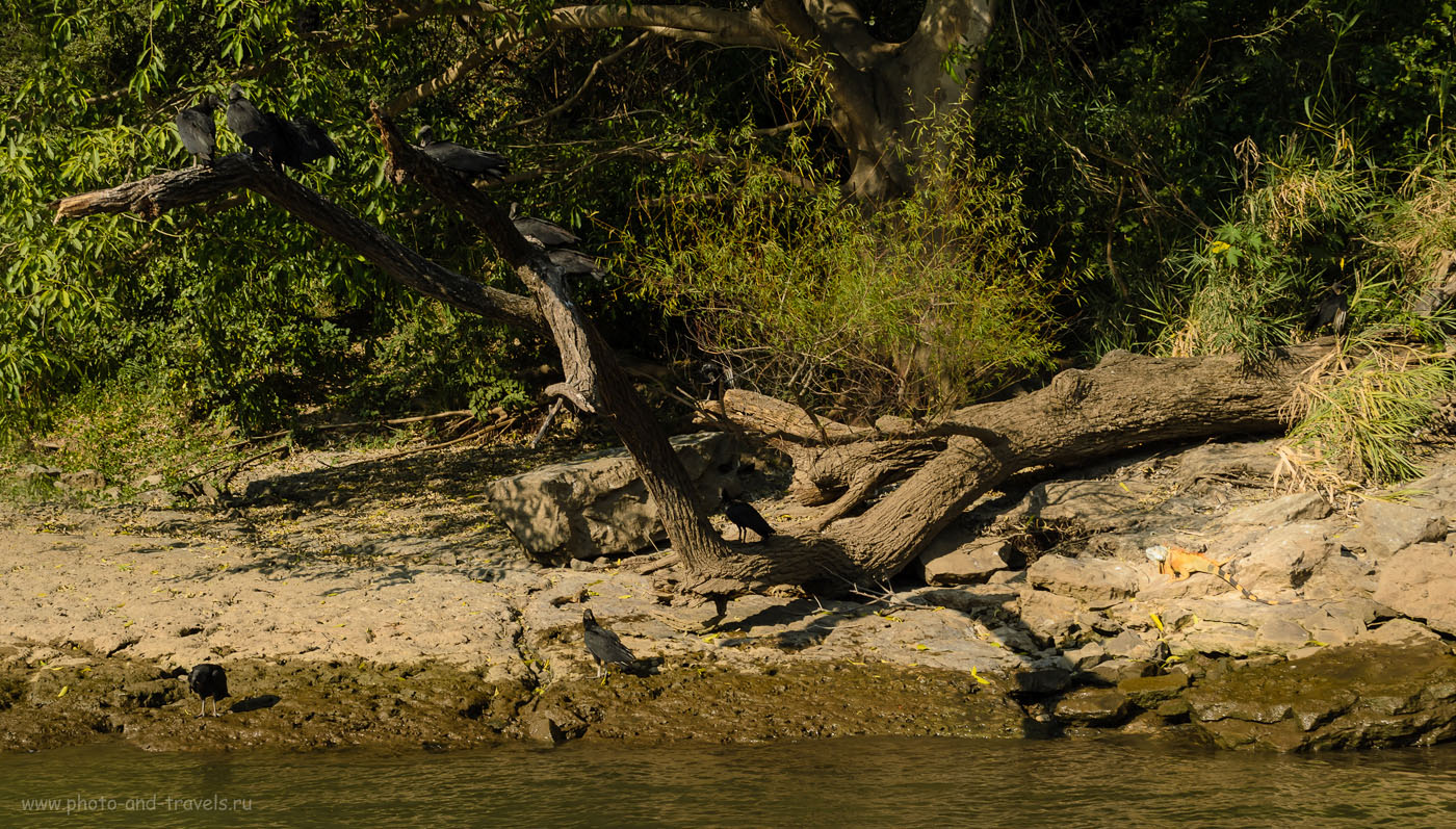Фото 13. Желтая игуана на берегу реки Грихальва в каньоне Сумидеро. Рассказы туристов об отдыхе в Мексике.