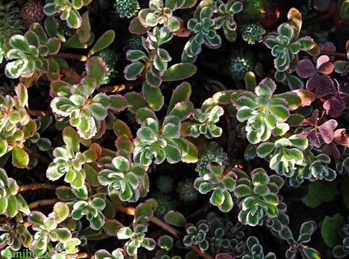 """Очиток (седум) ложный """"Триколор"""" / Sedum spurium """"Tricolor"""""""