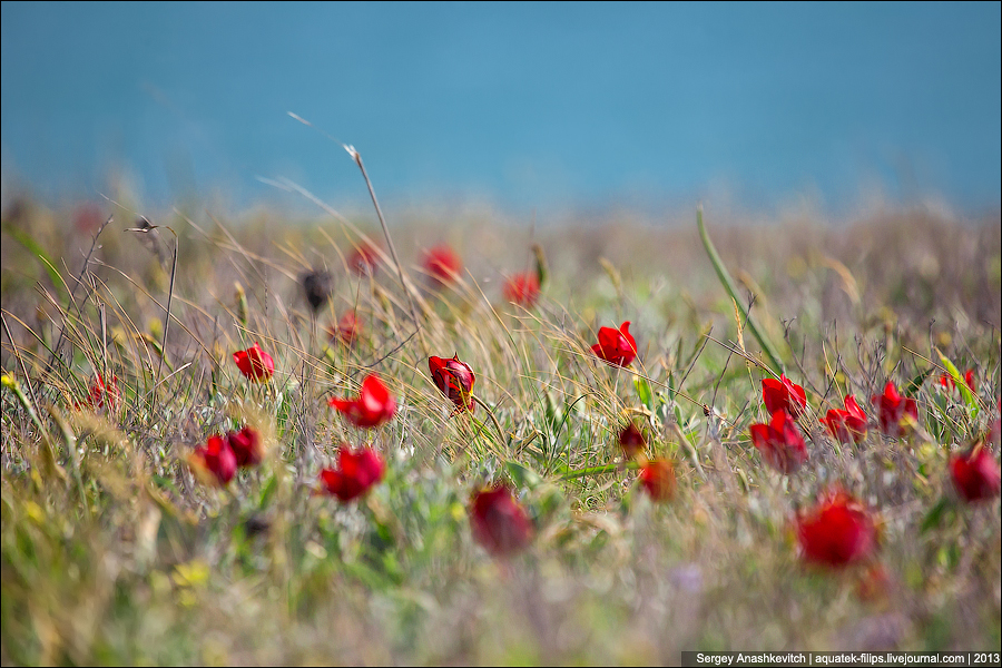 Тюльпаны в Крыму