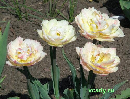 тюльпан выращивание