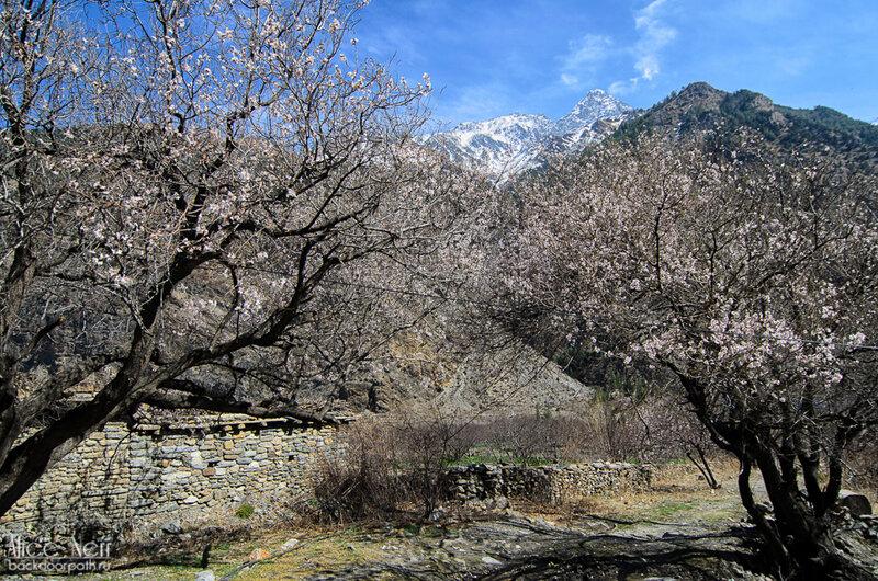 цветущие - предположительно - не яблони в садах Марпы, Непал