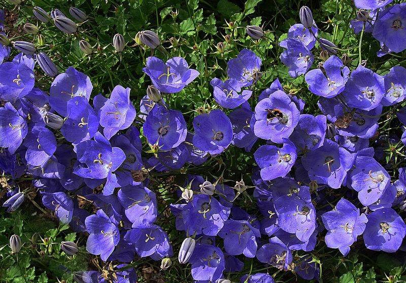 Синее море цветов...