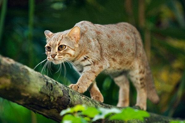 Пятнисторыжая кошка, бурая кошка