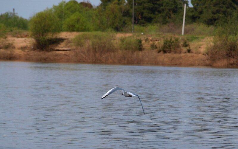 Взлёт чайки с разбегу P5172867