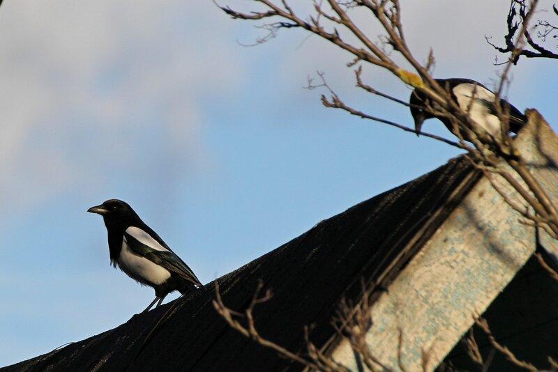 Сорокаи (лат. Pica pica) сидят на крыше