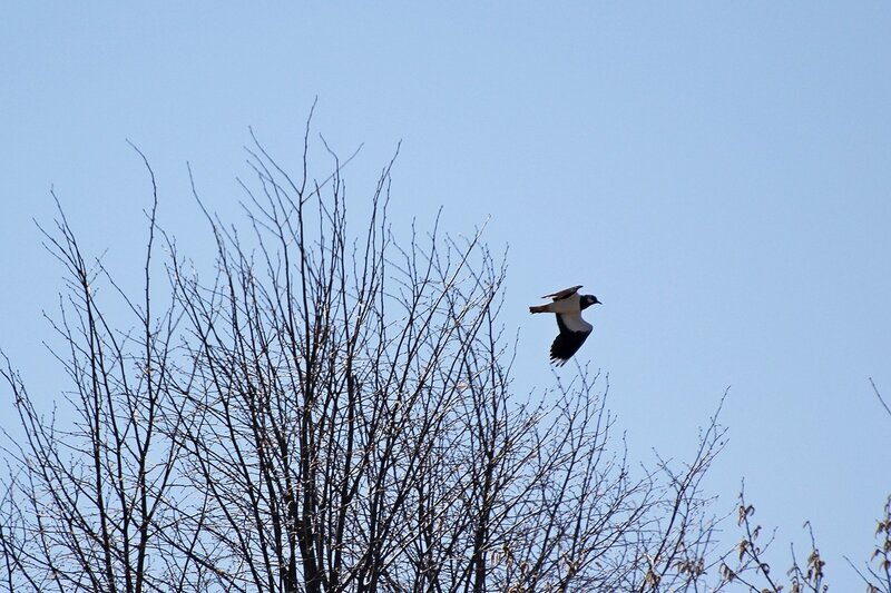Чибис летит над кустами