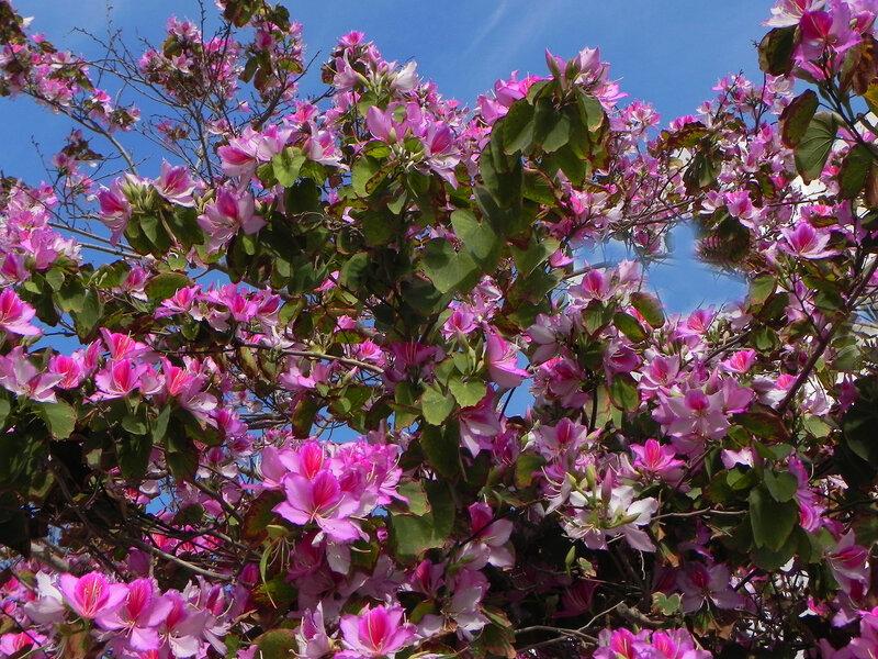 Баухиния(орхидейное дерево).