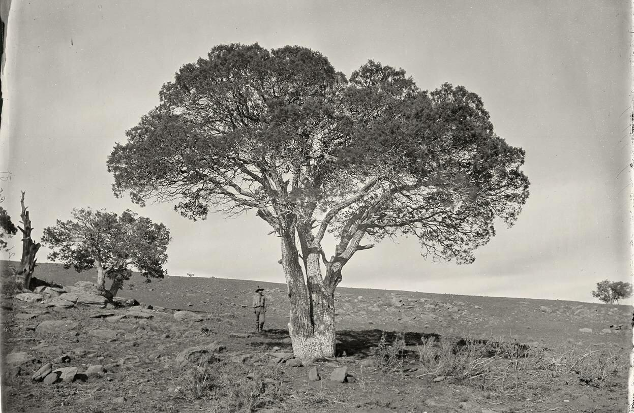 Дубовая роща, Белые горы, Сьерра-Бланка, штат Аризона в 1873 году