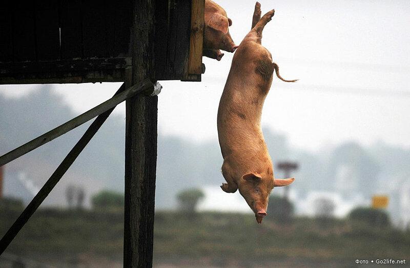 www.Go2life.net • Свинья ныряет в воду