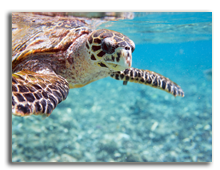 Сейшелы. Hawksbill sea turtle. Фото shalamov - Depositphotos
