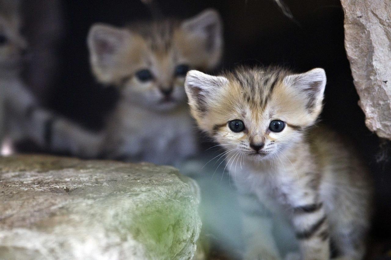 Впервые сняли на видео барханных котят