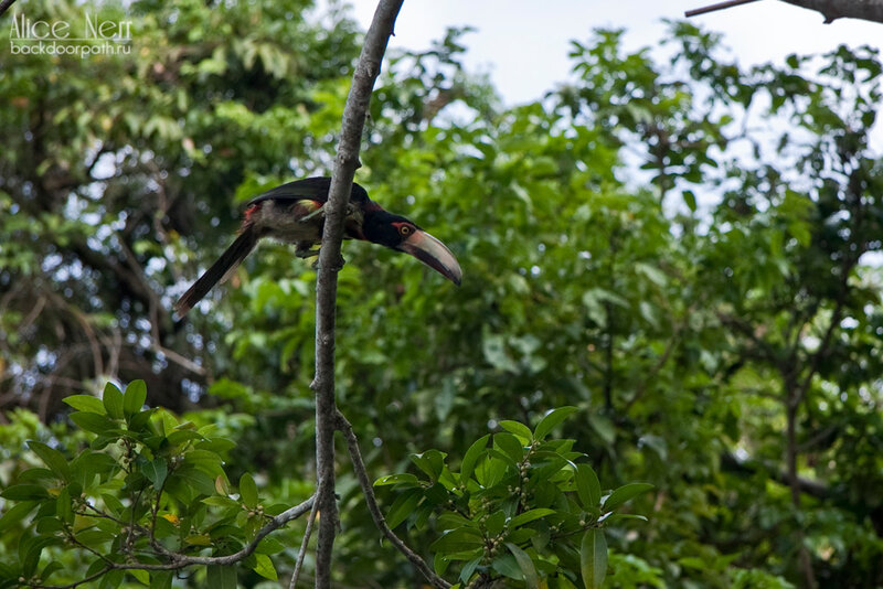 птичка дукан, марокайбо, кататумбо, венесуэла